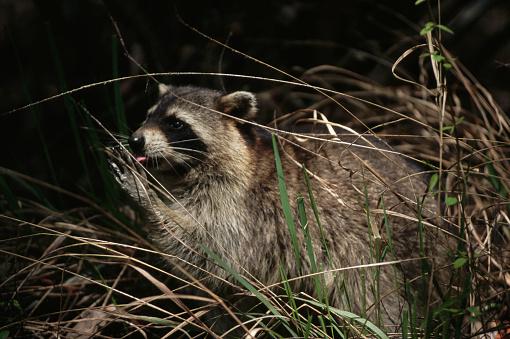 Ocala National Forest「Raccoon Licking Its Paw」:スマホ壁紙(12)