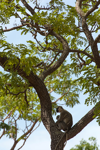 赤ちゃん「African green monkey (Chlorocebus sabaeus), female with a youngster, perched in the fork of a tree, Boubandjida NP, Northern Cameroon」:スマホ壁紙(18)