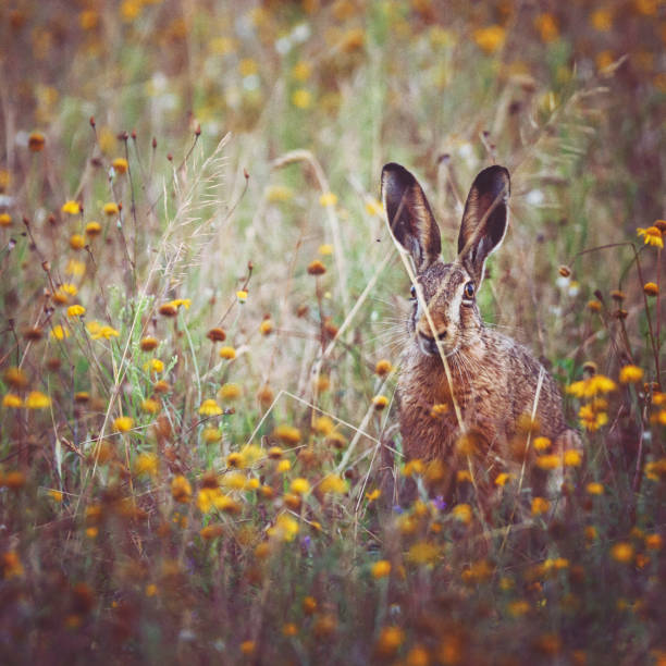 A brown hare sits on the spring meadow:スマホ壁紙(壁紙.com)