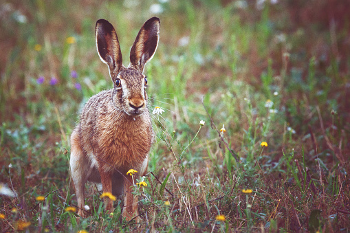 Easter Bunny「A brown hare sits on the spring meadow」:スマホ壁紙(18)