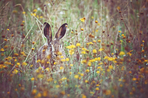 Easter「A brown hare sits on the spring meadow」:スマホ壁紙(9)