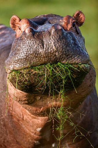 カバ「Hippo is looking to camera while feeding」:スマホ壁紙(6)