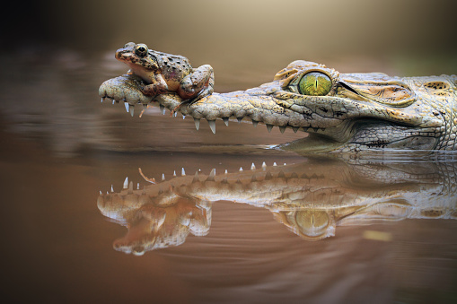Crocodile「Frog sitting on a crocodile snout, riau islands, indonesia」:スマホ壁紙(1)