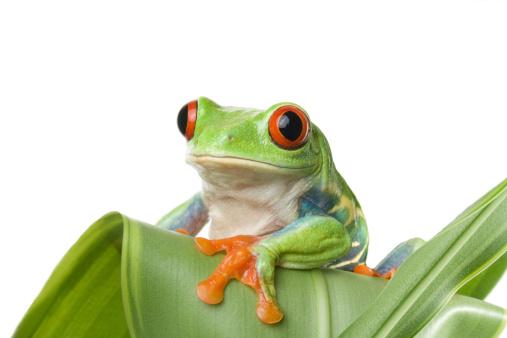 Tree Frog「frog (agalychnis callidryas) sitting on a plant」:スマホ壁紙(15)