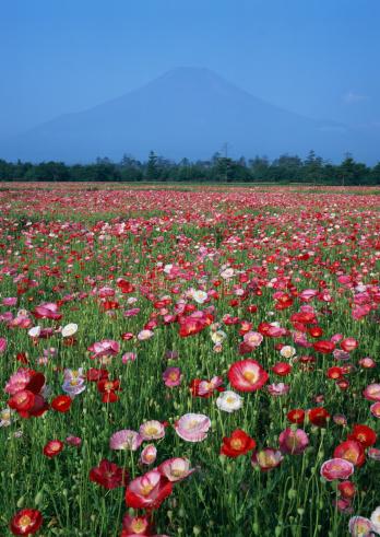 花「Poppy」:スマホ壁紙(4)