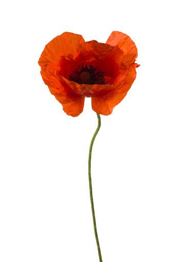 Wildflower「Poppy.」:スマホ壁紙(13)