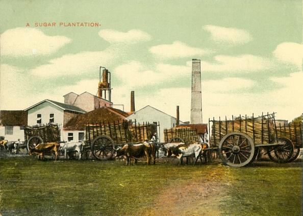 Sugar Cane「A Sugar Plantation」:写真・画像(8)[壁紙.com]