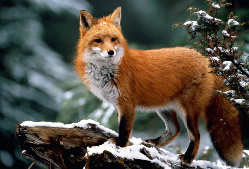 Watching「Red fox (Vulpes vulpes) standing on snow-covered log」:スマホ壁紙(8)