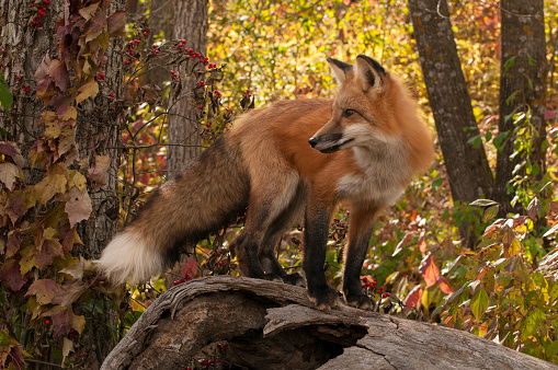Log「Red Fox standing on hollow log in autumn colored forest.  Midwest, USA.」:スマホ壁紙(1)