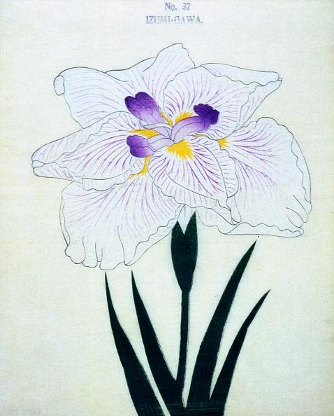 Violet - Flower「Izumi-Gawa」:写真・画像(13)[壁紙.com]