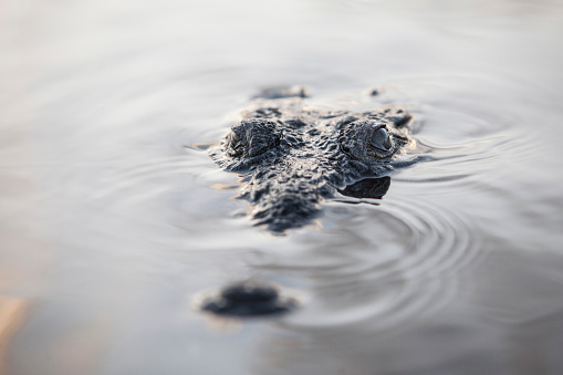 Furious「A large American crocodile surfaces in a lagoon.」:スマホ壁紙(17)