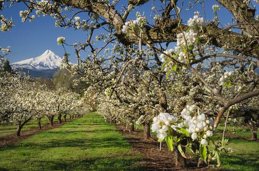 Blossom「Hood River Valley Orchards, Oregon」:スマホ壁紙(13)