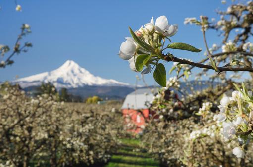 Blossom「Hood River Valley Orchards, Oregon」:スマホ壁紙(14)