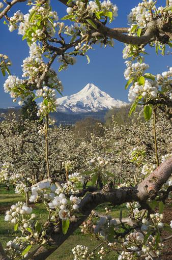 Blossom「Hood River Valley Orchards, Oregon」:スマホ壁紙(12)