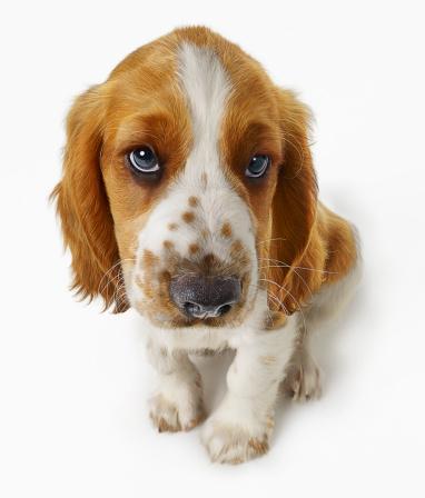 Springer Spaniel「Welsh Springer Puppy」:スマホ壁紙(7)