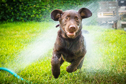Baby animal「labrador retriever puppy dog running through water sprinkler」:スマホ壁紙(13)