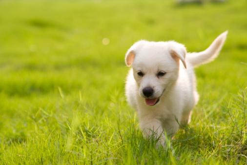 犬「小さなラブラドールレトリバー」:スマホ壁紙(12)