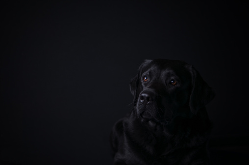 Animal Eye「Labrador retriever on black background」:スマホ壁紙(3)