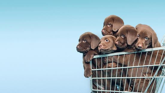 Turkey - Bird「Labrador retriever puppys in supermarket trolley」:スマホ壁紙(18)