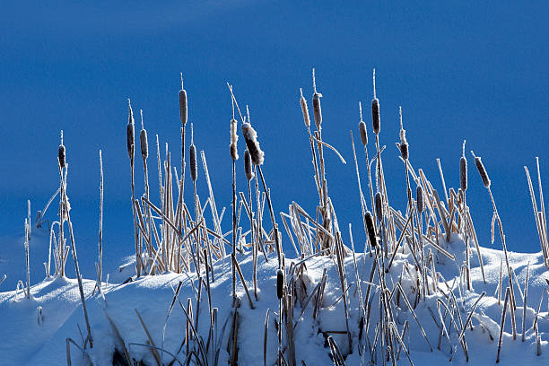 Cattails growing on snowy hilltop:スマホ壁紙(壁紙.com)