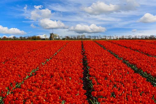 Netherlands「Rows of tulips growing in a field, The Netherlands」:スマホ壁紙(4)