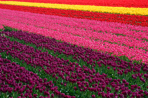Keukenhof Gardens「Rows of Tulips」:スマホ壁紙(18)