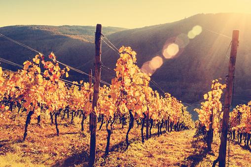 Steep「Sunny autumn vineyard in Germany」:スマホ壁紙(13)