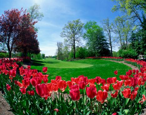 チューリップ「Tulips on golf course」:スマホ壁紙(3)
