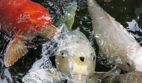 Carp「Silver and Red Koi in pond」:スマホ壁紙(18)
