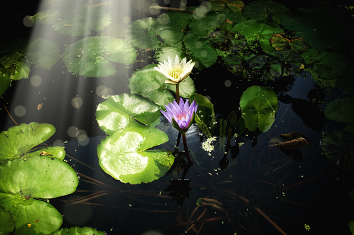 Lotus Water Lily「Close up water lily flowers floating on water」:スマホ壁紙(15)