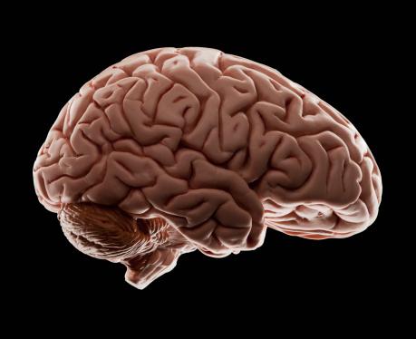 Brain「Model of human brain, studio shot」:スマホ壁紙(10)