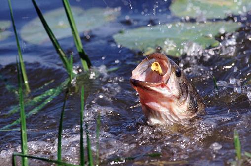 Water Lily「Catching bass」:スマホ壁紙(2)