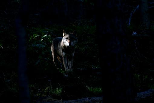 狼「Iberian wolf (Canis lupus signatus). Sierra de la Culebra, Zamora, Villardeciervos」:スマホ壁紙(13)