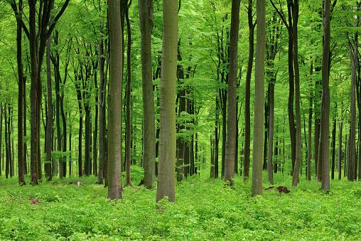 Tree Trunk「Vital green forest in spring. Westerwald, Rhineland-Palatinate, Germany」:スマホ壁紙(1)