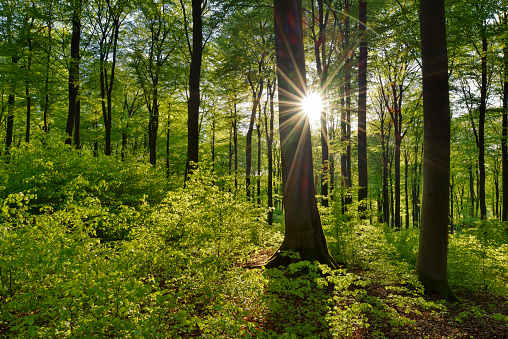 Tree Trunk「Vital green forest in spring with sun and sunbeams, Westerwald, Rhineland-Palatinate, Germany」:スマホ壁紙(11)
