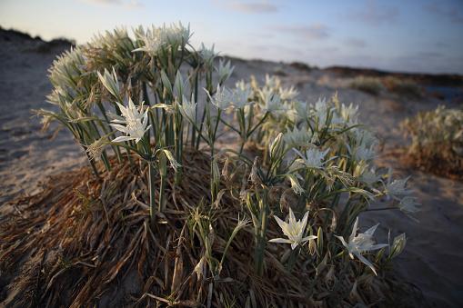 Isle of Man「Sea Daffodil at sunset」:スマホ壁紙(5)