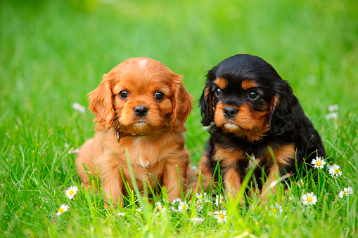 Two Animals「Two Cavalier King Charles Spaniel puppies sitting on a meadow」:スマホ壁紙(10)