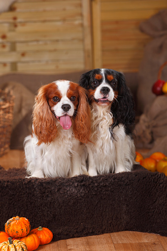 カボチャ「Two Cavalier King Charles Spaniels sitting in an autumnal decorated barn」:スマホ壁紙(9)