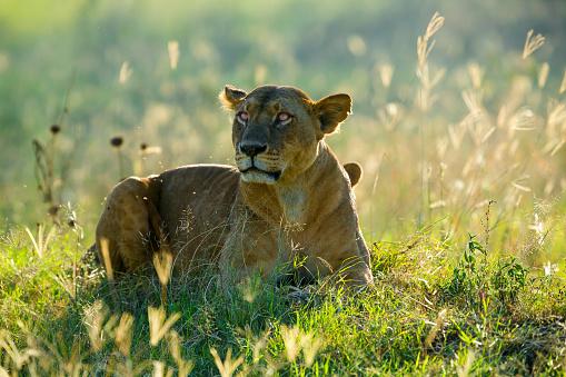 Animals Hunting「Lioness at Lake Nakuru」:スマホ壁紙(14)