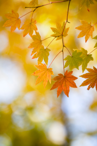 Japanese Maple「Autumnal leaves」:スマホ壁紙(15)