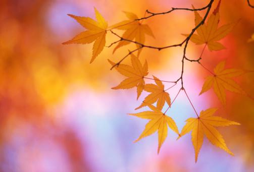 Japanese Maple「Autumnal leaves」:スマホ壁紙(3)