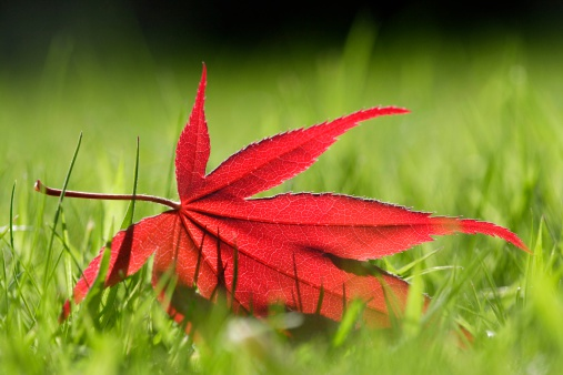 Japanese Maple「Autumnal leaf in grass」:スマホ壁紙(7)