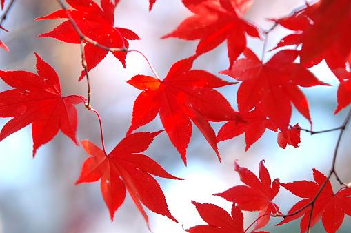 Japanese Maple「Autumnal leaves」:スマホ壁紙(18)