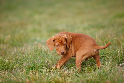 Pointer - Dog「Magyar Vizsla, Hungarian Short-Haired Pointing Dog, puppy, on meadow」:スマホ壁紙(13)