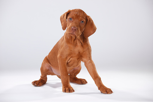 Pointer - Dog「Magyar Vizsla, Hungarian Short-Haired Pointing Dog, puppy」:スマホ壁紙(11)