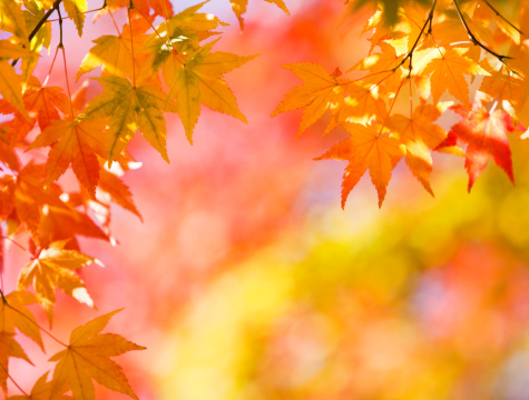 Japanese Maple「Bright Autumn Colors」:スマホ壁紙(7)