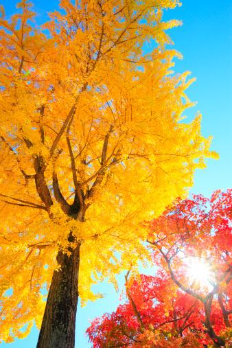 Japanese Maple「Gingko and Japanese Maple Trees, Nagano Prefecture, Japan」:スマホ壁紙(15)