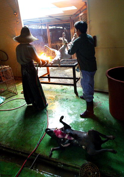 Blow Torch「Dogs Are Prepared For Food In South Korean Slaughterhouse」:写真・画像(5)[壁紙.com]
