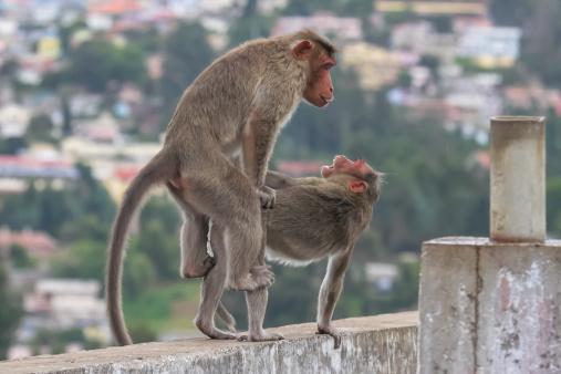 Dethan Punalur「Bonnet Monkeys (Macaca radiata) mating」:スマホ壁紙(8)