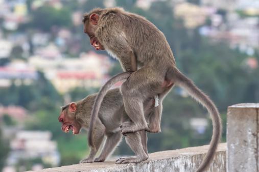 Dethan Punalur「Bonnet Monkeys (Macaca radiata) mating」:スマホ壁紙(10)